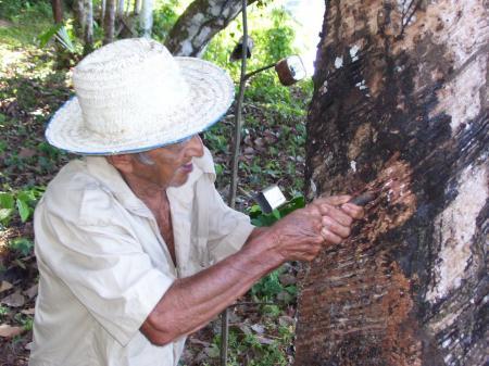 Kautschukgewinnung im Amazonasgebiet