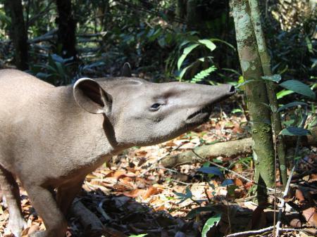 Tapir im Amazonas-Regenwald