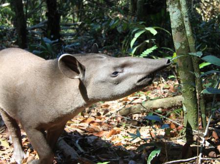 Tapir im Amazonasgebiet