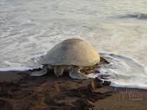 Schildkröte an der Küste von Costa Rica
