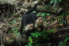 Affen im Regenwald von Costa Rica