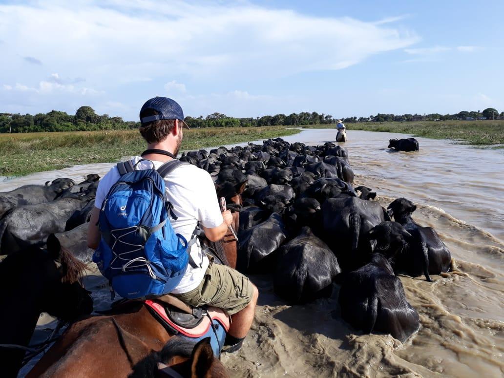 Büffelherde auf der Ilha de Marajo