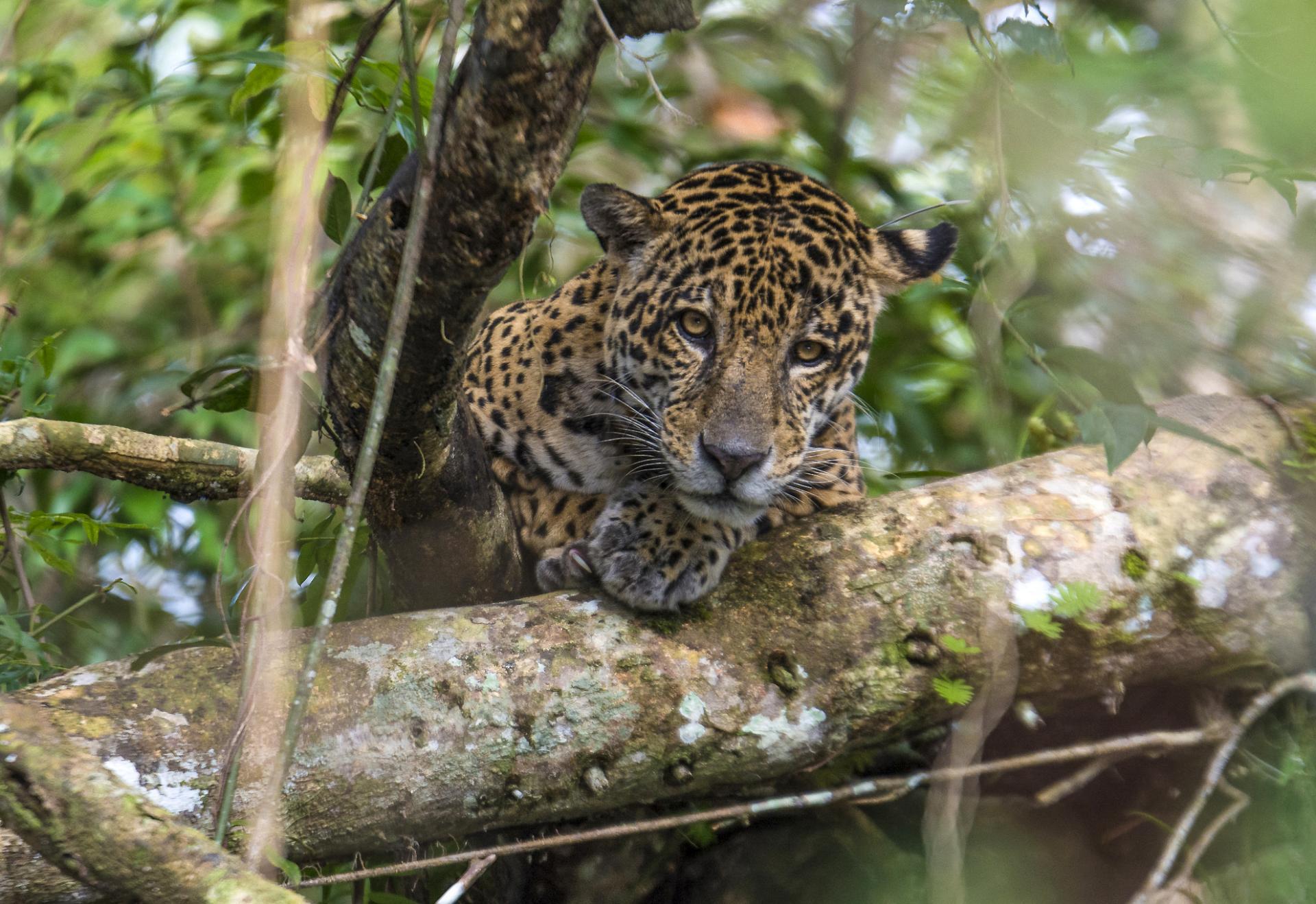 Jaguar in Tefe in Brasilien