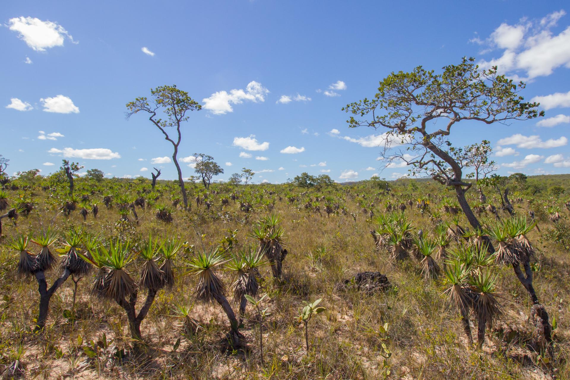 Typische Cerrado Landschaft