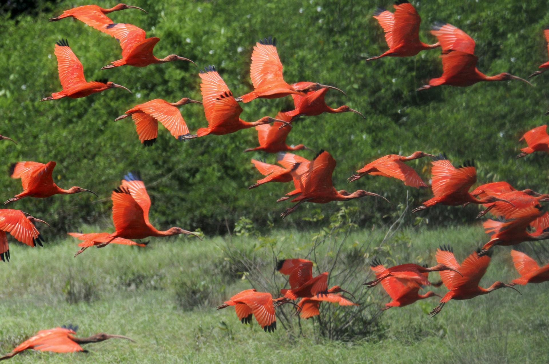 Vögel auf der Ilha de Marajó in Brasilien