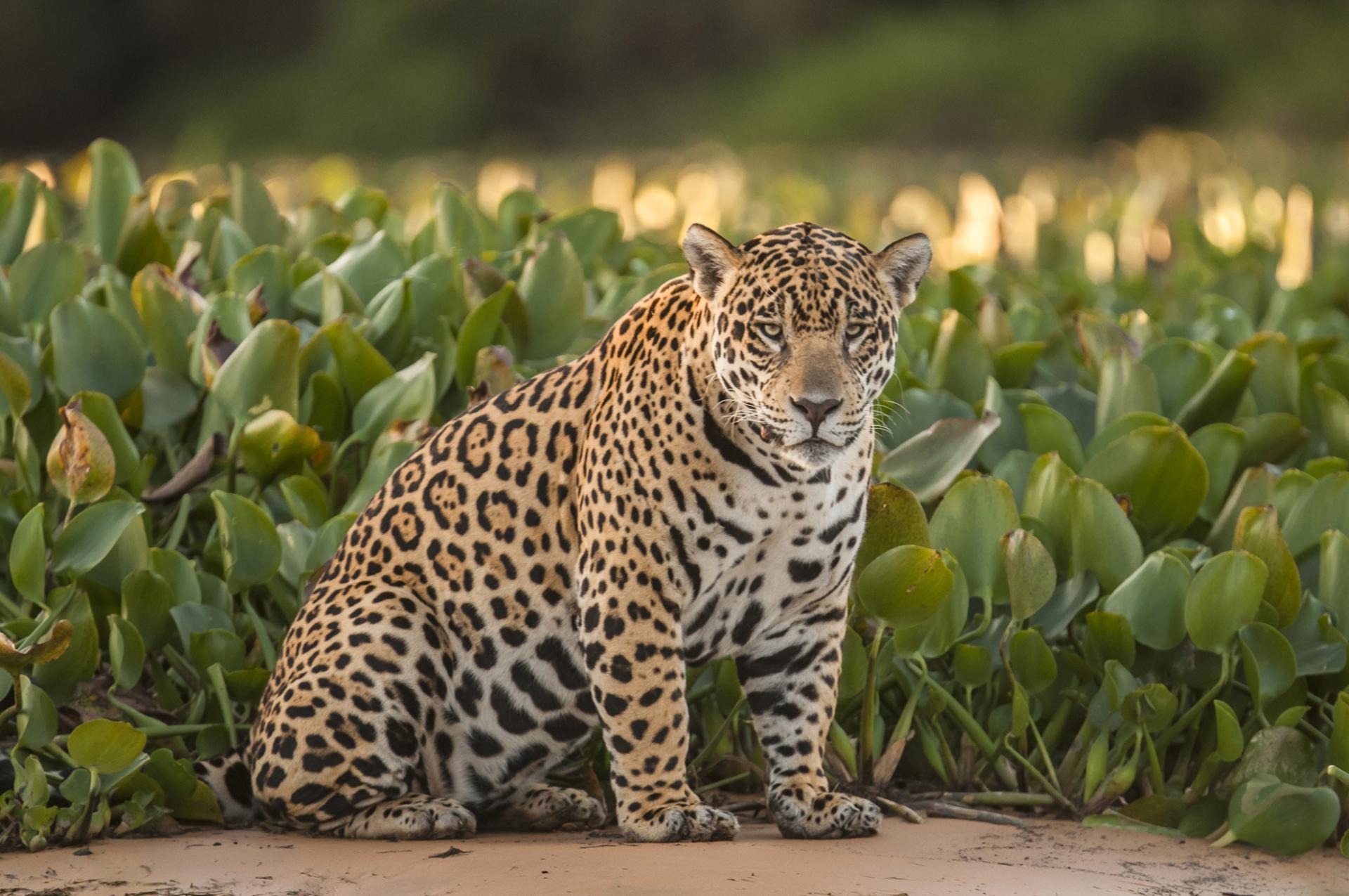 Jaguar im brasilianischen Nord Pantanal