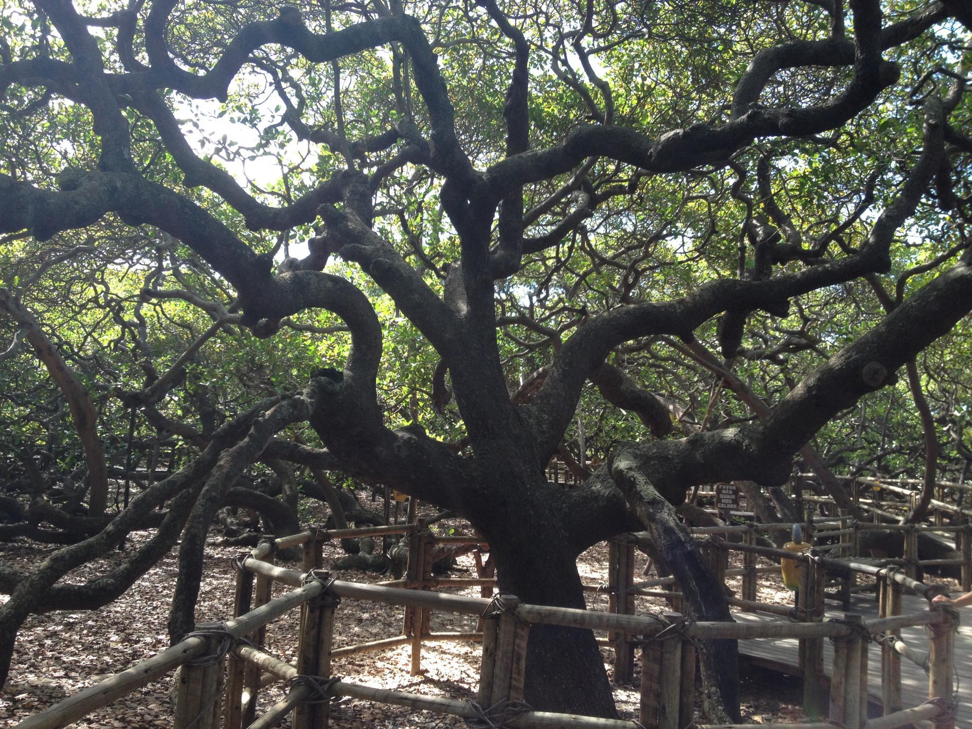 Weltgrößter Cashewbaum in Natal