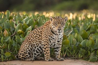 Jaguar im Panatal