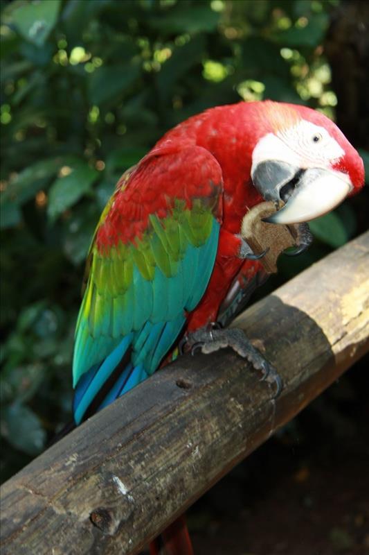 Papagei in Brasilien