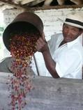 Kolumbianer bei der Ernte von Kaffee