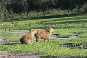 Mietwagen Reisen Pantanal Capivaras