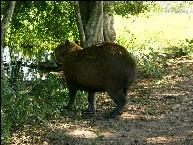 Capivara im Pantanal