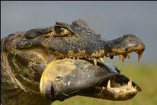 Kaiman im Pantanal