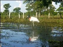 Jabiru im Pantanal