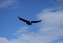 Adler im peruanischen Hochgebirge