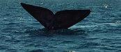 Walflosse ragt aus dem Wasser