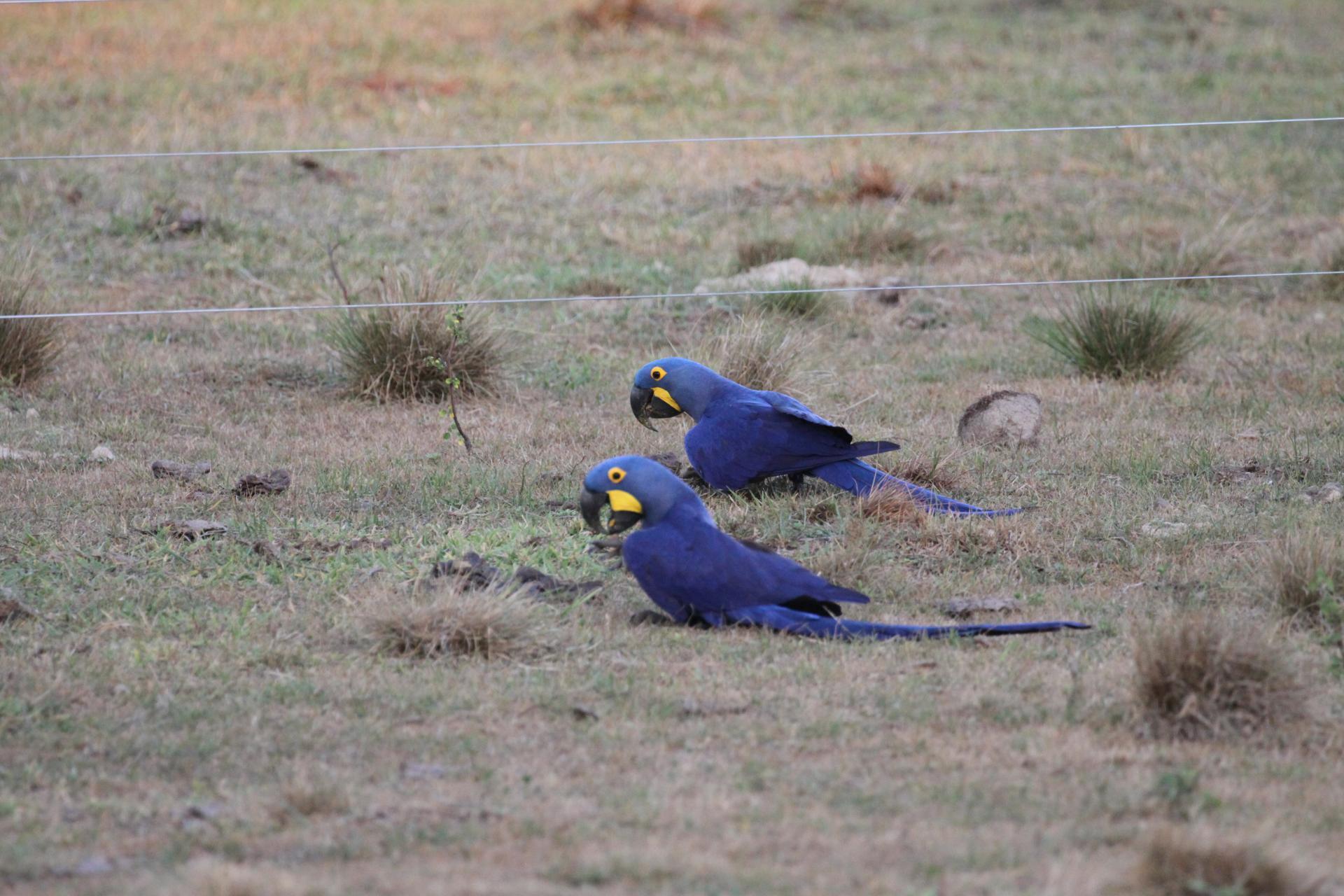 Zwei Hyazinth-Aras auf dem Grasboden im Süd-Pantanal