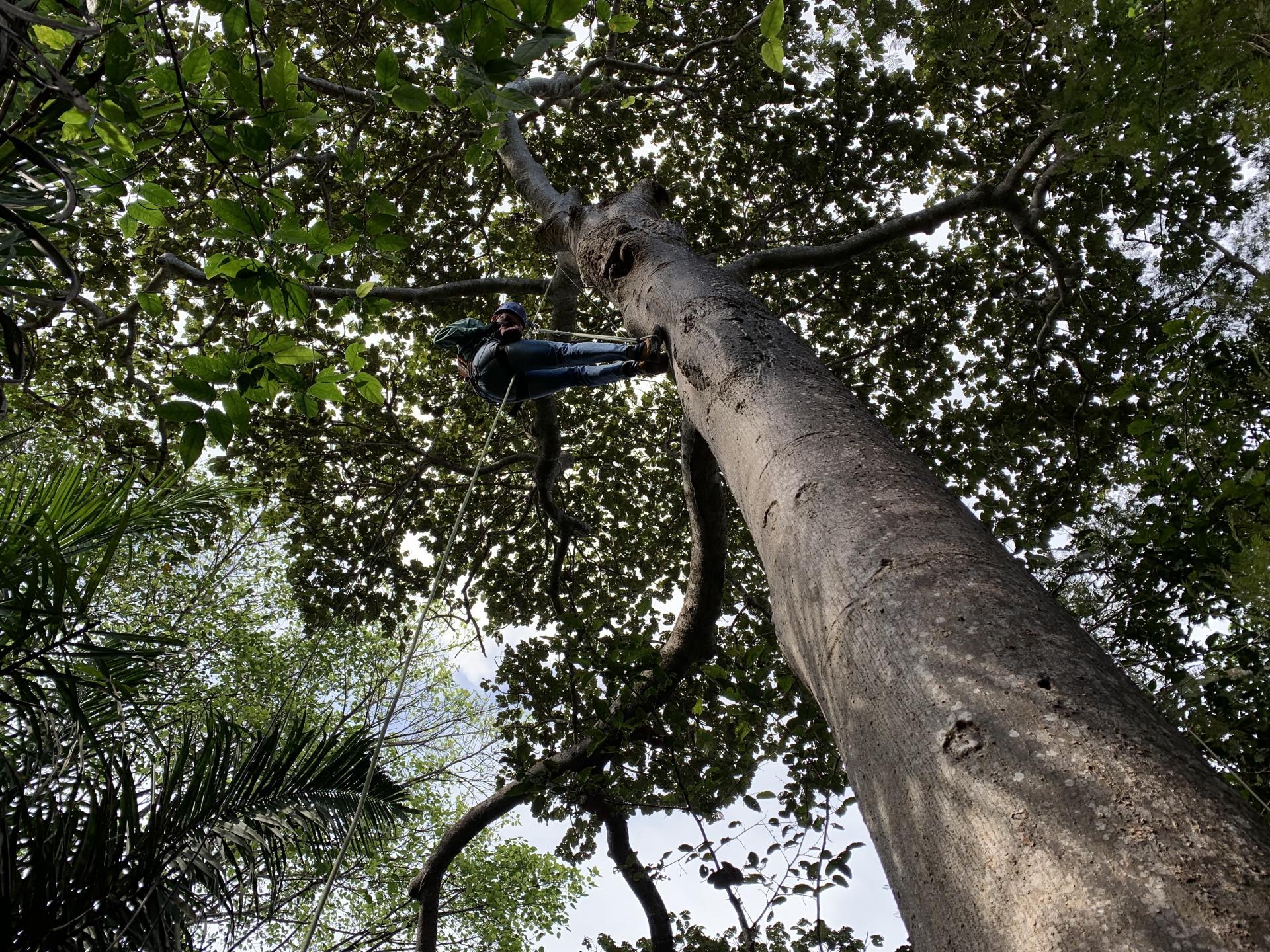 Hoch- und Abseilen zu einem Ara-Nest des Instituto Arara Azul
