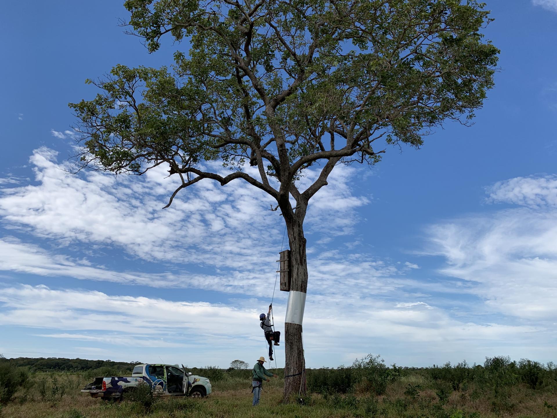 Baum mit einem Ara-Nest des Instituto Arara Azul