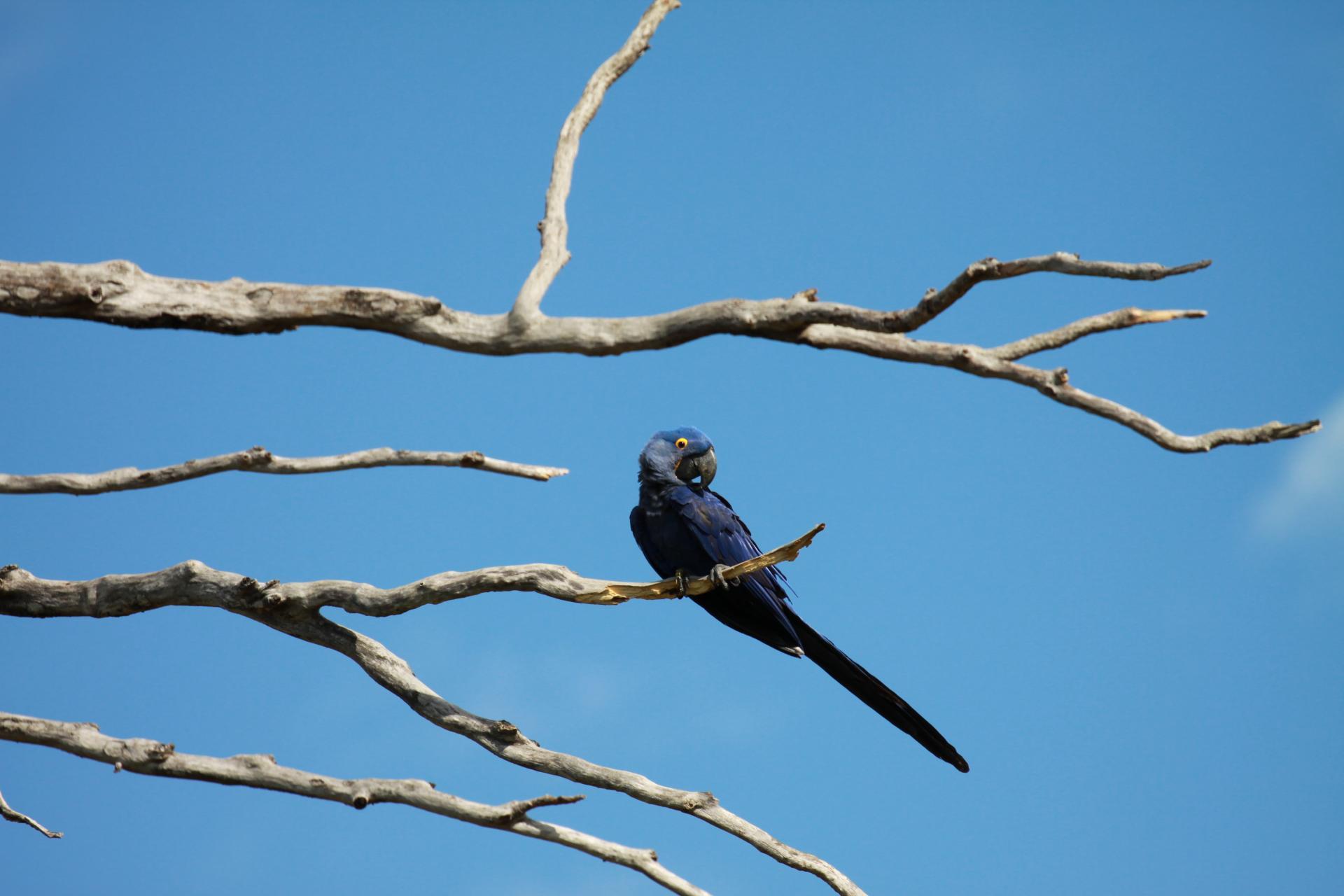 Ein Hyazinth-Ara sitzt auf einem Baum