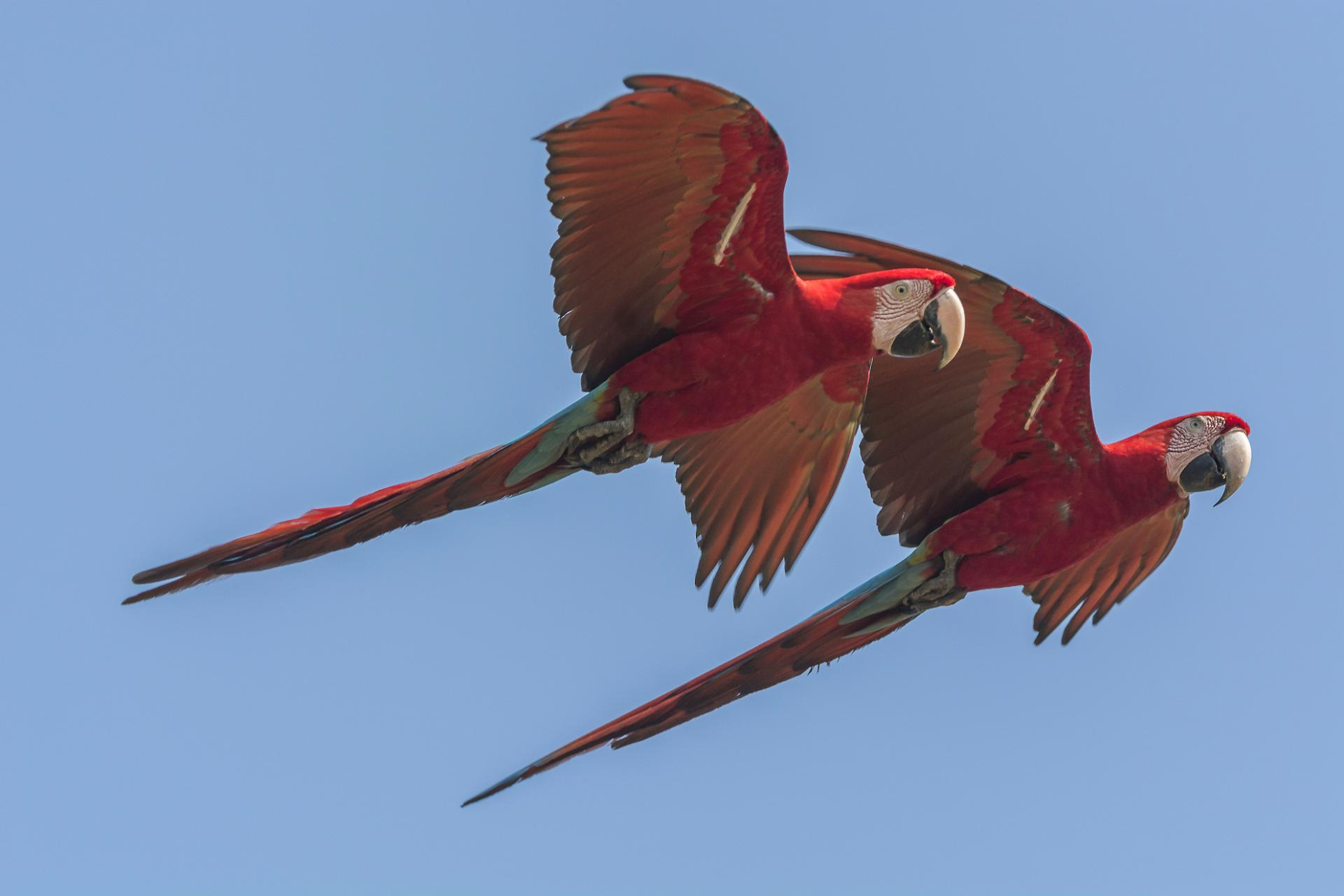 Aras fliegen durch blauen Himmel im Nord Pantanal