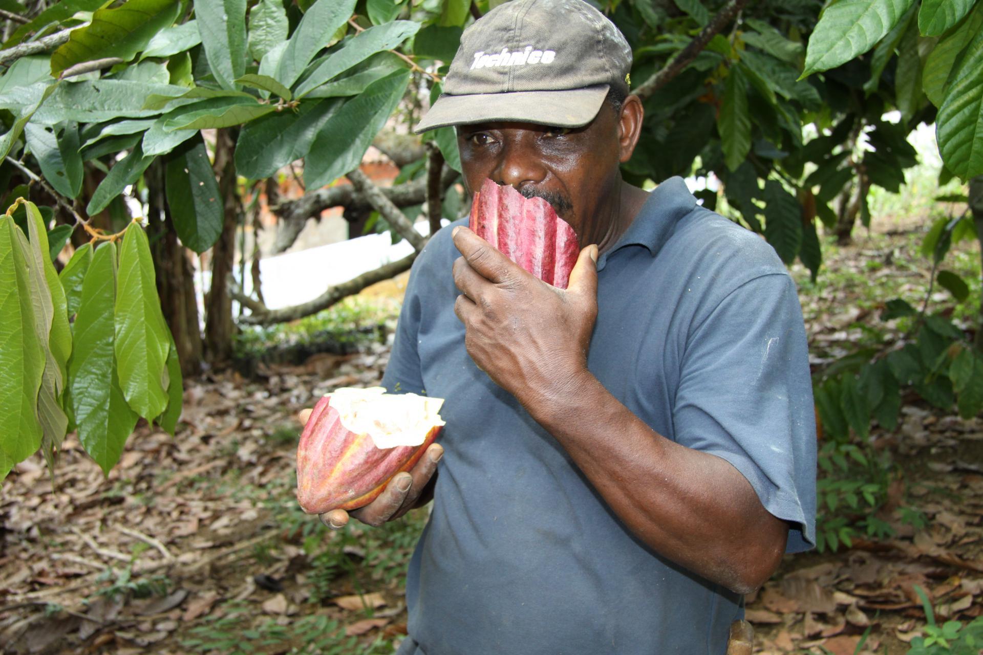 Reisetipp Kakaofazenda in Bahia: Mann riecht an einer aufgebrochenen Kakaofrucht