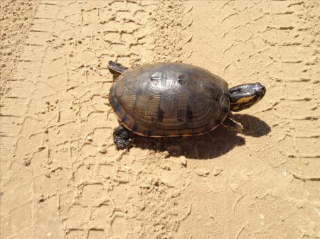 Eine Schildkröte, die sich freilebend am Strand bewegt.