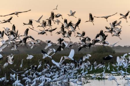 Vögel im Sonnenuntergang im Nord-Pantanal