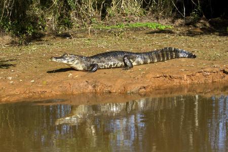 Kaiman sonnt sich am Ufer im Nord-Pantanal