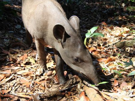 Tapir in einer Lichtung des Amazonas-Regenwalds