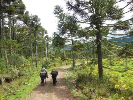 Zwei Reiter in einem Araukarienwald in der Serra Catarinense
