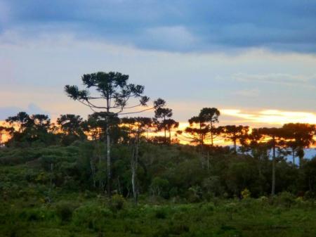 Araukarienwald bei Sonnenuntergang