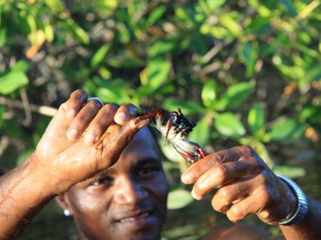 Auf Krebssuche in den Mangroven