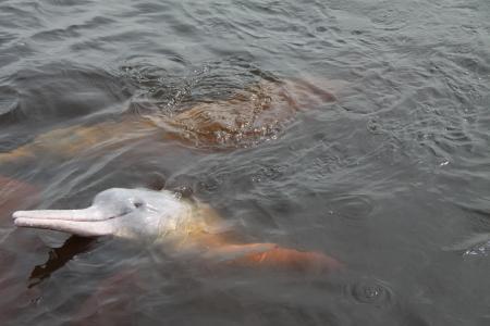 Delfin im Amazonasgebiet