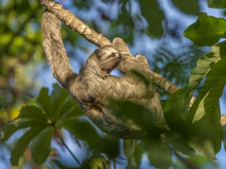 Faultier Amazonasgebiet