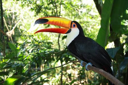 Tukan im Vogelpark von Iguacu