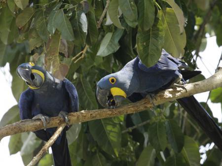Hyazinth-Aras im Nord-Pantanal