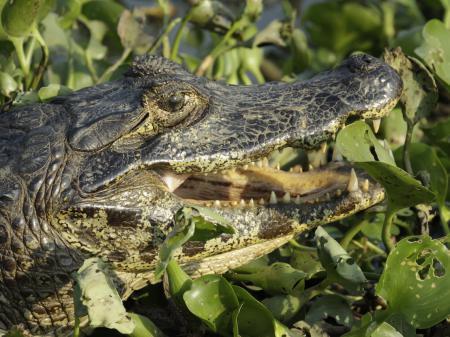 Kaiman im Nord-Pantanal