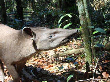 Neugieriger Tapir im Regenwald