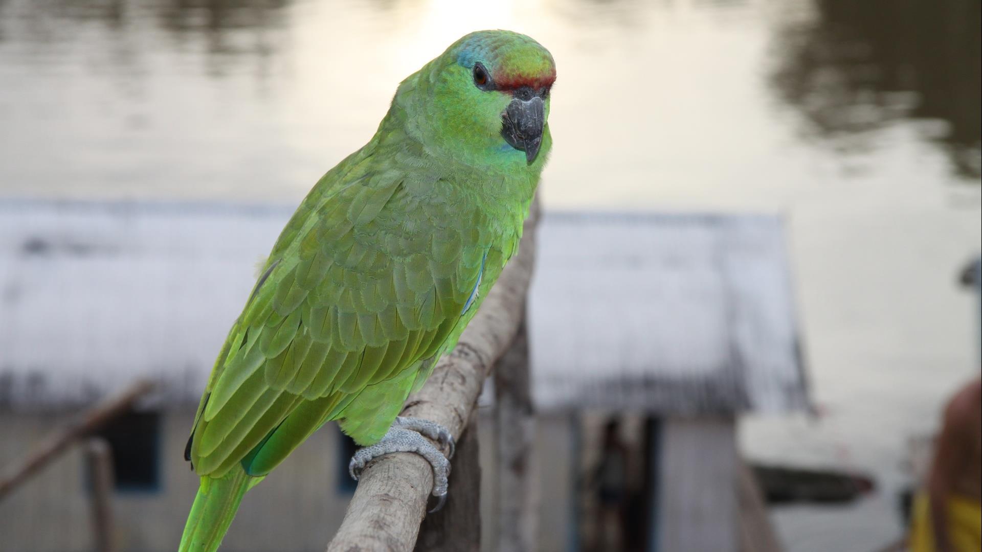Brasilien Amazonas: 3 Tage Reisebaustein - Turtle Lodge Acai Paket: Grüner Papagei