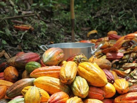 Kakaofrüchte liegen auf einem Haufen im Atlantischen Regenwald in Bahia