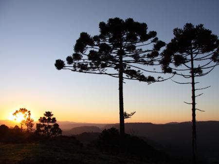 Araukarien im Sonnenuntergang von Urubici