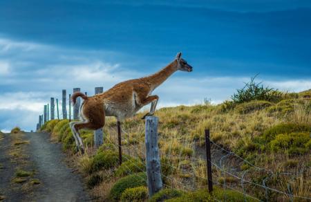 Erleben Sie die einmalige Tierwelt Patagoniens auf einer Rundreise durch den Torres del Paine Nationalpark in Chile
