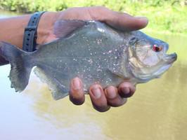 Orinoco Delta Fisch