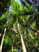 Orinoco Delta Palme