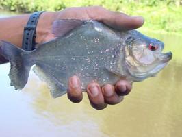 Ein Fisch des Orinoco Delta bei einer Reise durch Venezuela.