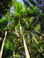 Palme des Orinoco Delta bei einer Reise durch Venezuela.