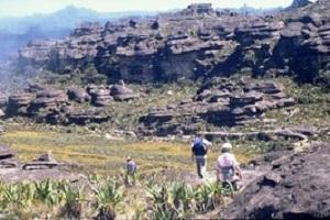Tafelberg Roraima Pflanzen bei einer Reise durch Venezuela.