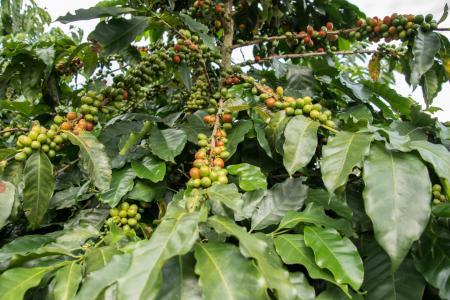 Die Kaffeepflanzen auf einer Kaffee Hacienda auf einer Reise durch Kolumbien begutachten