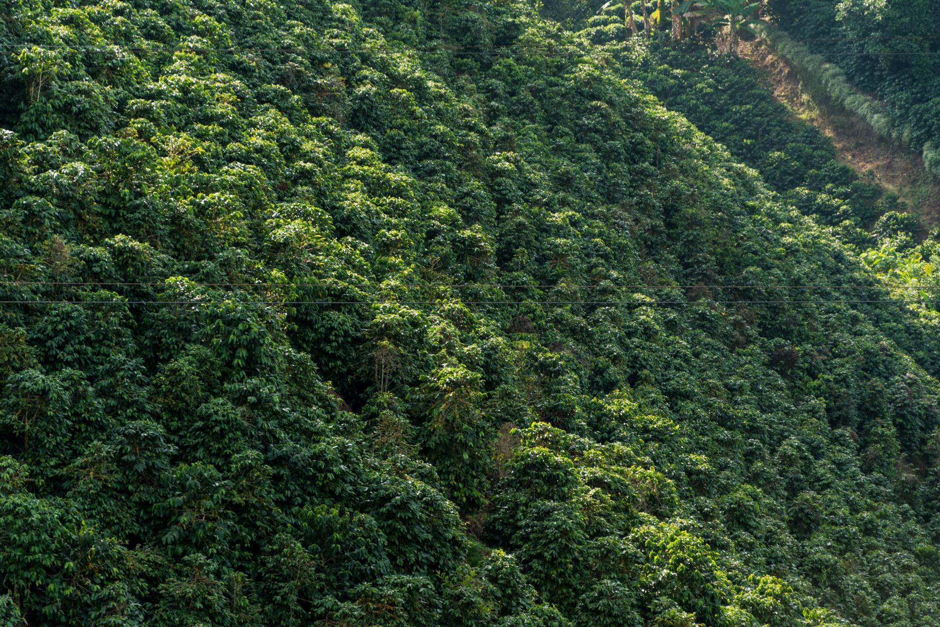 Die Kaffeezone Kolumbiens und den Prozess der Kaffeezubereitung auf einer Reise erleben